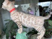 Bengal Snow Kitten Mädchen und
