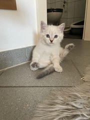 BKH Kitten Kater Blue Point