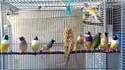 Gouldamadinen wildfarben 25 -- gelb