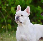 Deckrüde Lilac Creme Französische Bulldogge