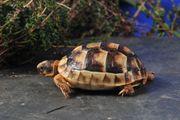 Griechische Landschildkröten Breitrandschildkröten T m