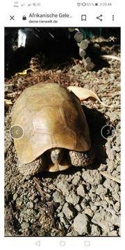Samson Afrikanische Gelenkschildkröte Männchen top