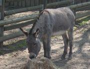 Reitbarer Esel gesucht