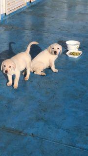 2 Labrador-Welpen suchen ein zu