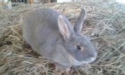 Kaninchen Perlfeh