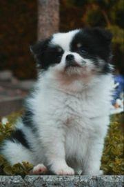 Pomchi Welpen Pomeranian Chihuahua