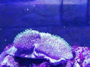 Pilzlederkoralle Koralle Meerwasser