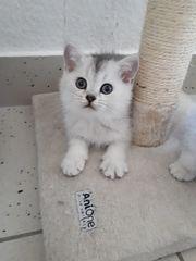 Wunderschöne BKH Kitten Jungs mit
