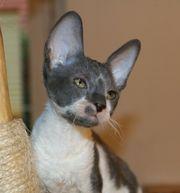 Wunderschöne Cissy Kitten