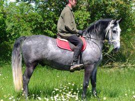 Pferde - Lipizzanerwallach Silver