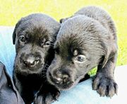 Labrador welpen 12 Wochen alt