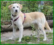Schönie 7 Monate - Labrador-Mix - Tierhilfe