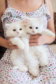 schöne persische Kätzchen