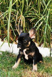 Französisch Bulldogge Welpen Hündin