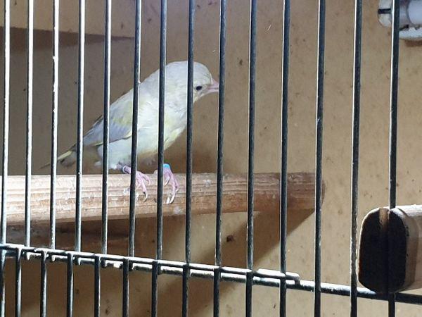 Grünfinken Mutationen isabell