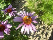 Sonnenhut rosa kräftig und gesund