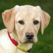 Happy Lilly 5 Monate - Labrador -