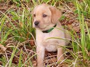 Wunderhübscher reinrassige Labrador Welpe Rüde