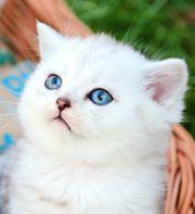 BKH Kitten Mädchen und Jungen -