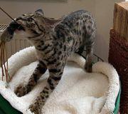 Savannahkitten von Almasi Savannahkatzen - Zucht