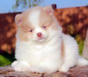 Traumhafte Pomeranian Zwergspitz Welpe - Rüde