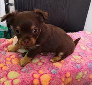 1 süßer Chihuahua Rüde sucht