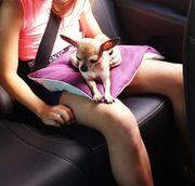 Teacup Chihuahua Mädchen