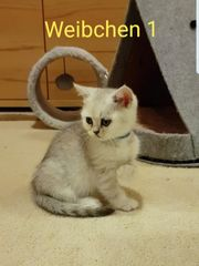 Reinrassige Britisch Kurzhaar BKH Kitten