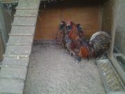 Eulenbarthühner