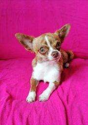 Chihuahua Rüde in schoko brindle
