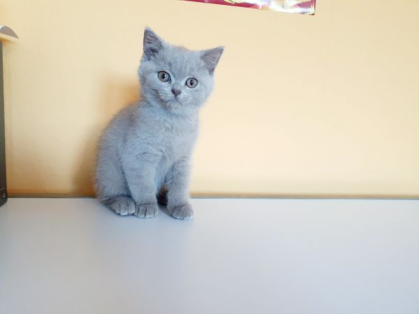 Bkh kitten in lilac