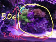 weichkorallen Anfänger korallen groß