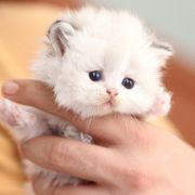 Atemberaubende Schneewittchen Blh weibliche Kätzchen