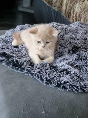 britisch kurzhaar sf kitten