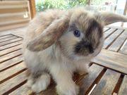 Minilop Kaninchen Babys auch mit