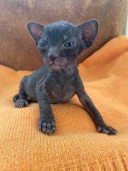 Sphynx Kitten zu verkaufen