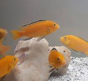Yellow Kakusa in leuchtendem Orange