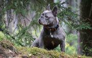 Französische Bulldogge blau mit Papiere
