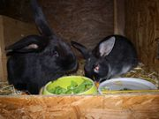 Kaninchen abzugeben in liebevolle Hände