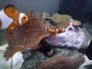 occelaris Clownfisch Zuchtpaar mit Symbioseanemone