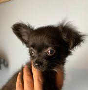Typvoller Langhaar Chihuahua Welpe