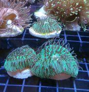 Korallen Ableger Fungia Sinularia Euphyllia