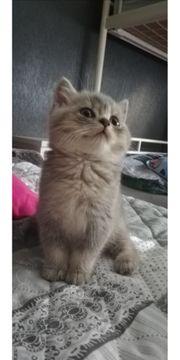 3 reinrassige Bkh Kätzchen können