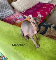 süße Canadian Sphynx Kitten