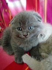 BKH Kitten fold creme u