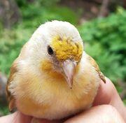 Mischlingsvogel Stieglitz