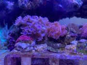 Korallen Ableger Versand