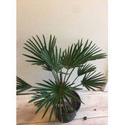 Trachycarpus Wagnerianus - Chinesische Hanfpalme art44046