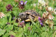 Griechische Landschildkrötenbabys suchen gutes Zuhause