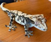 1 0 Extreme Harlequin Correlophus